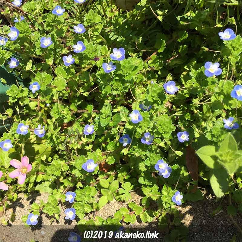 オオイヌノフグリとムラサキカタバミの花