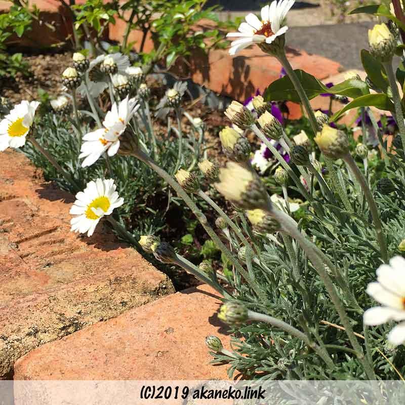 花壇のローダンセマム(アフリカンアイズとアフロヘア)