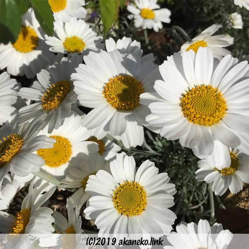 ローダンセマム(アフロヘア)の花