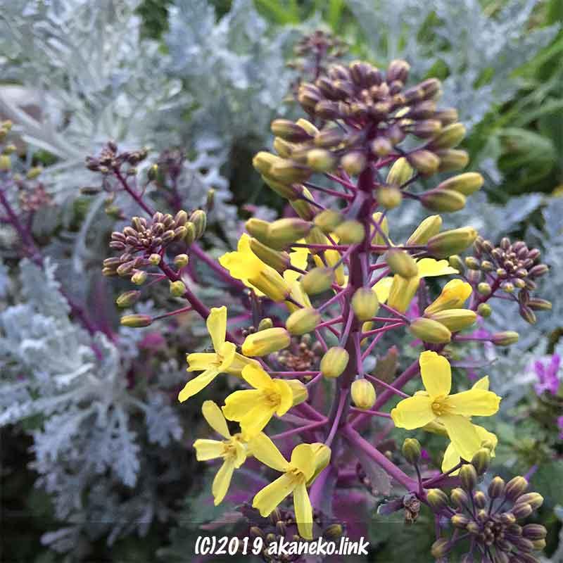 シロタエギクを背景にした葉牡丹の花