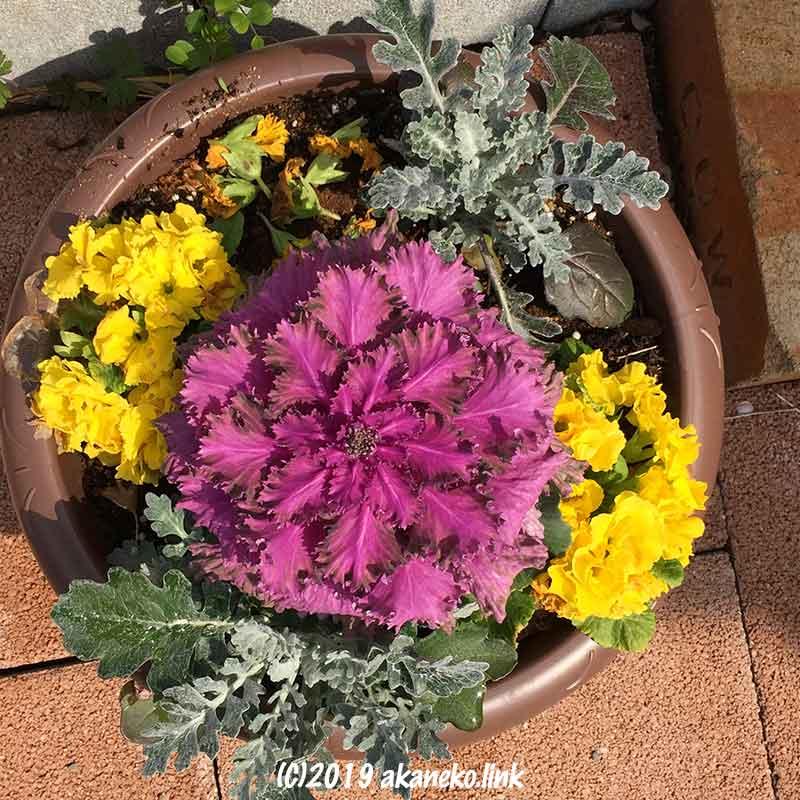 ちょっと疲れた葉牡丹とシロタエギクとジュリアンの寄せ植え