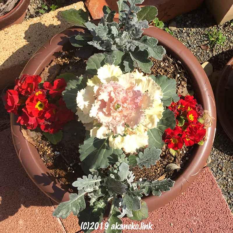 葉牡丹とシロタエギクとジュリアンの寄せ植え