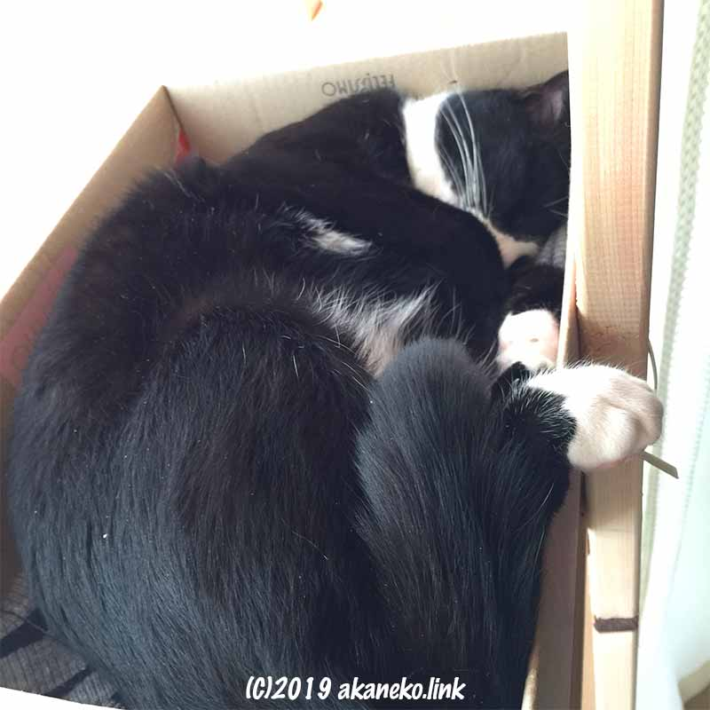 フェリシモのダンボール箱で眠る猫