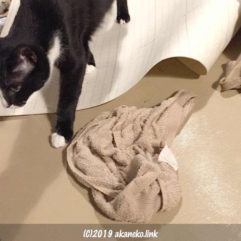 掃除中の水浸しの畳を歩く猫
