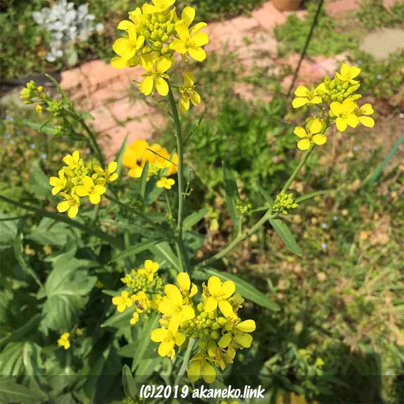 蕾菜(子持ち高菜)の花