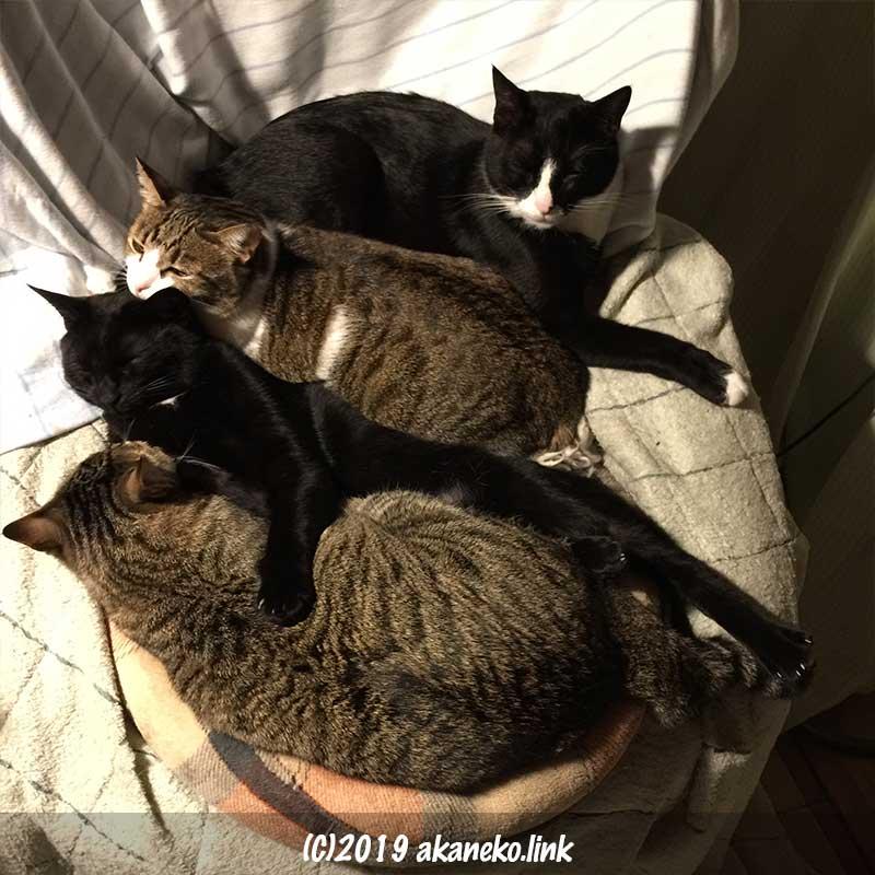 ぎゅうぎゅうに並んで寝ている4匹の猫