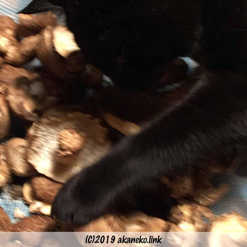 干している椎茸をひっくり返す黒猫