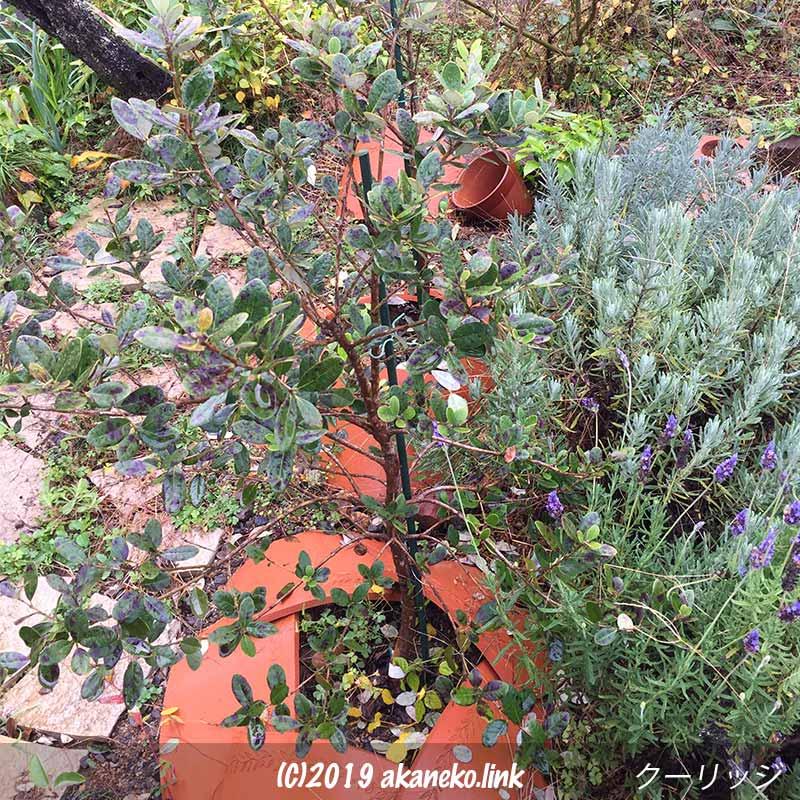 12月、葉に赤い斑点が出た地植えのフェイジョア