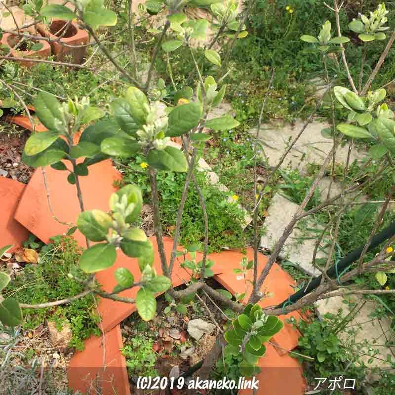 新芽が展開し始めた地植えのフェイジョア(アポロ)