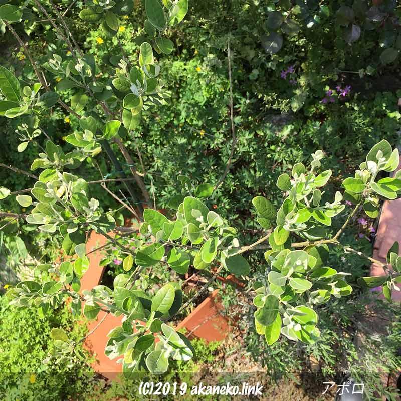 春、葉が増えてきた地植えのフェイジョア(アポロ)