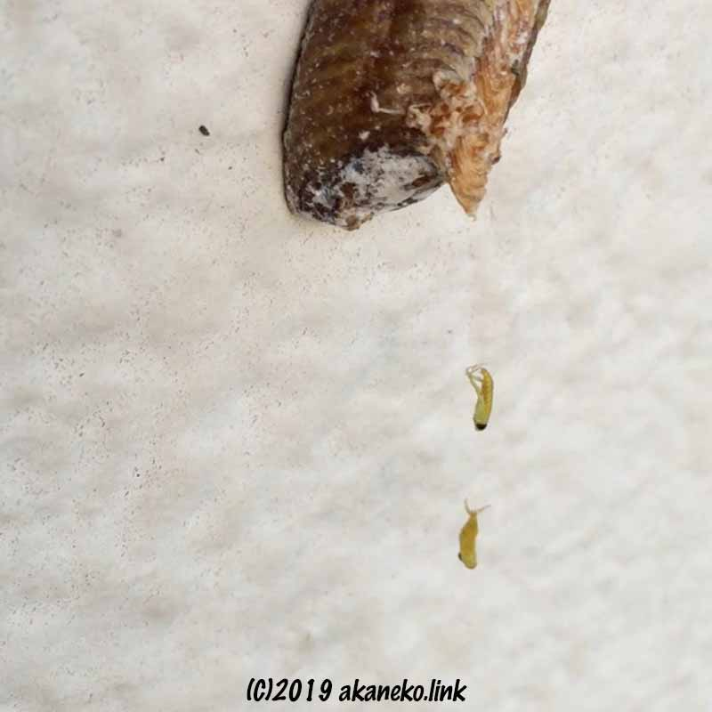ハラビロカマキリの孵化、2匹の前幼虫