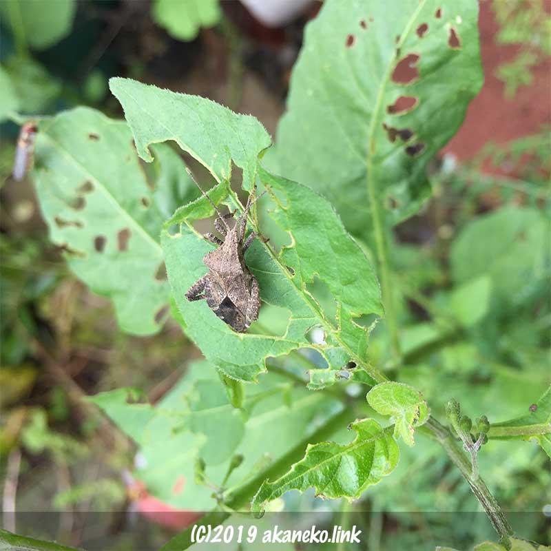 ワルナスビを食べるホウズキカメムシ