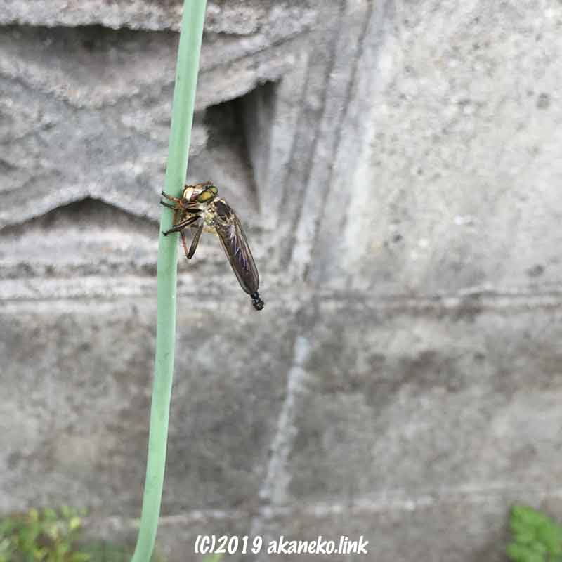 捕食中のマガリケムシヒキのオス