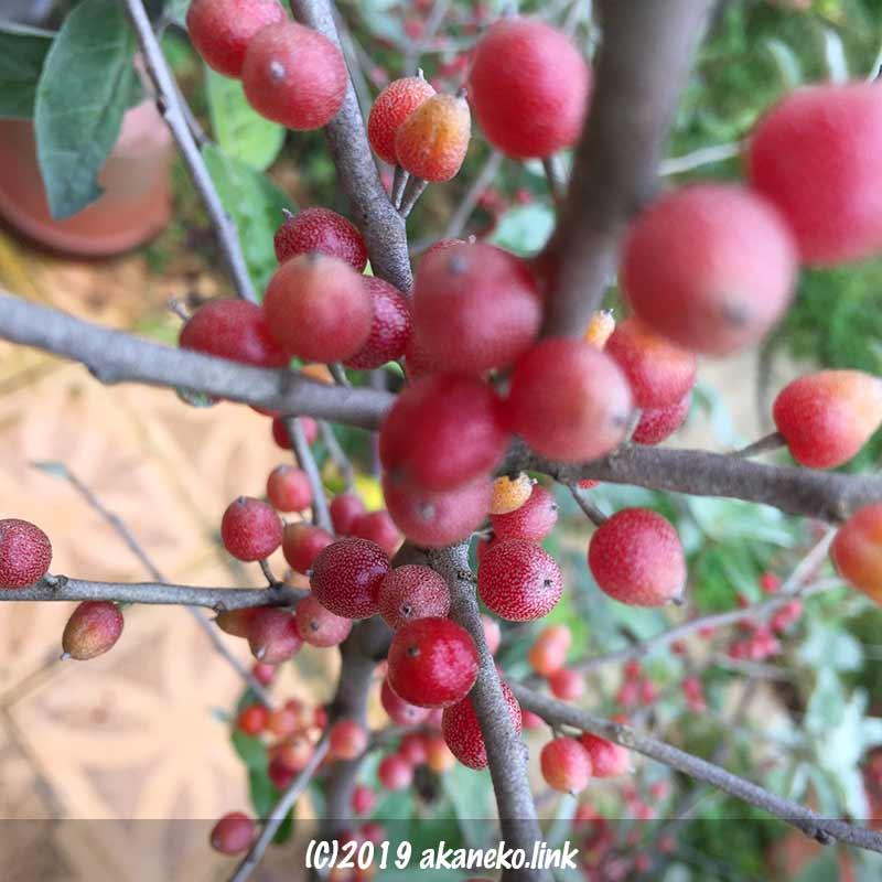 ロシアンオリーブ(ホソバグミ、ヤナギバグミ)の真っ赤な実
