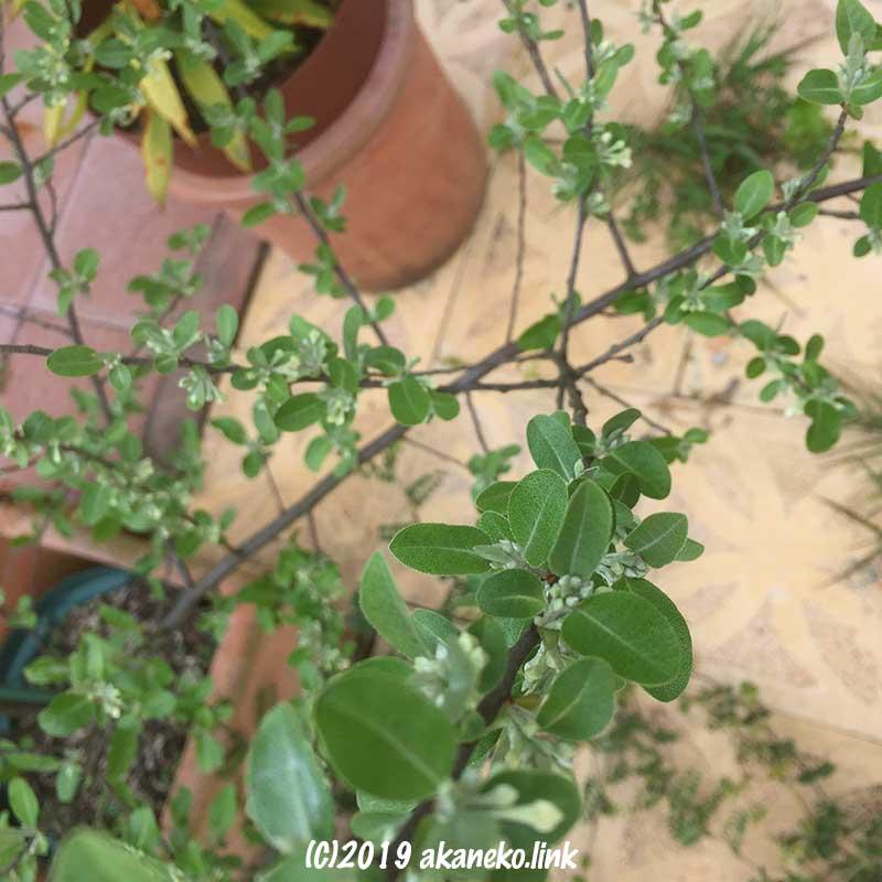 鉢植えのロシアンオリーブ(ホソバグミ、ヤナギバグミ)の蕾