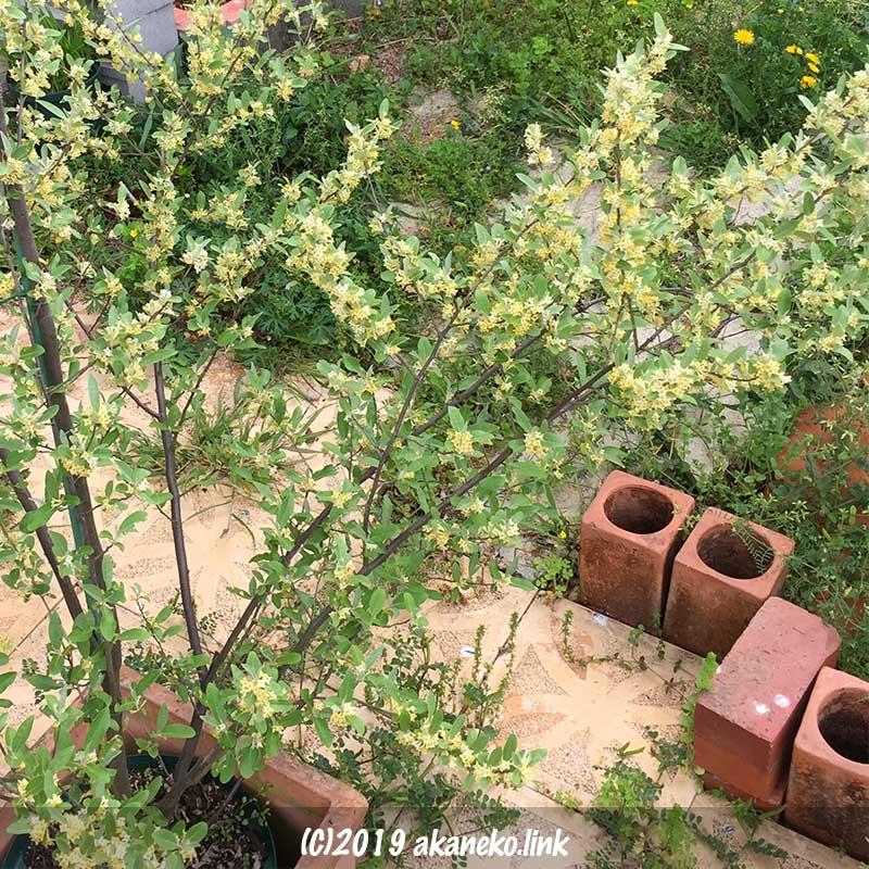 満開の鉢植えロシアンオリーブ(ホソバグミ、ヤナギバグミ)