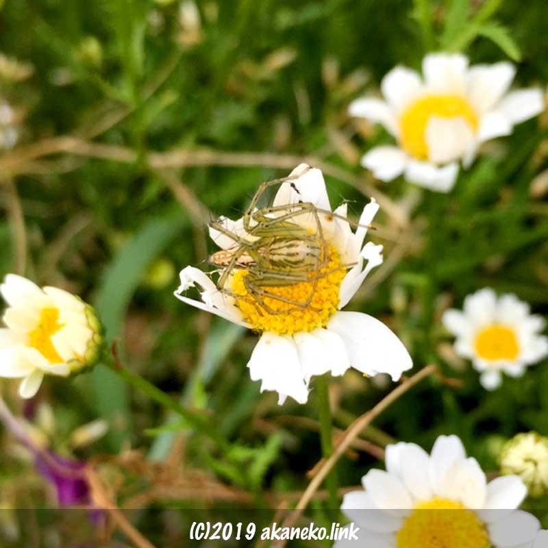 ノースポールの花の上の笹グモ