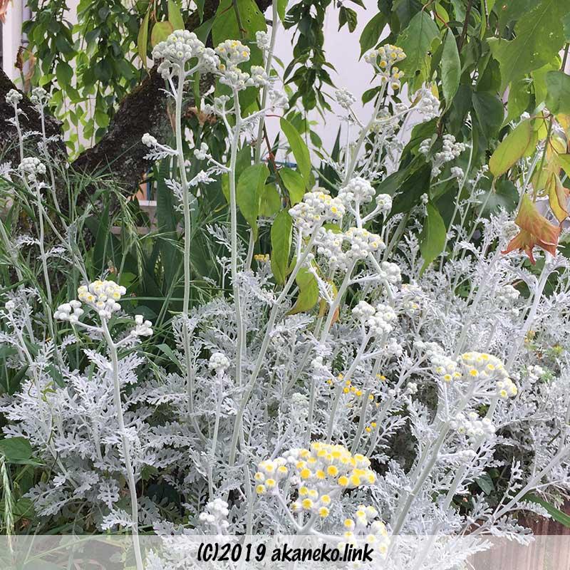 セネシオ属シロタエギク(dusty miller)の花