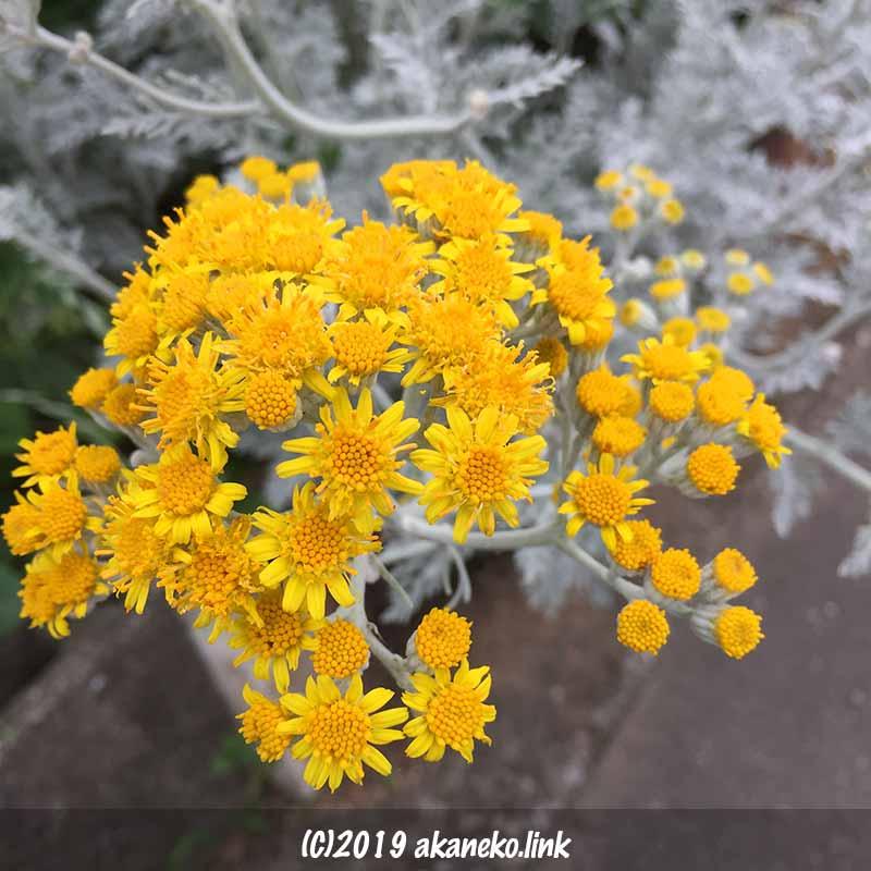 セネシオ属シロタエギク(dusty miller)の満開の黄色い花