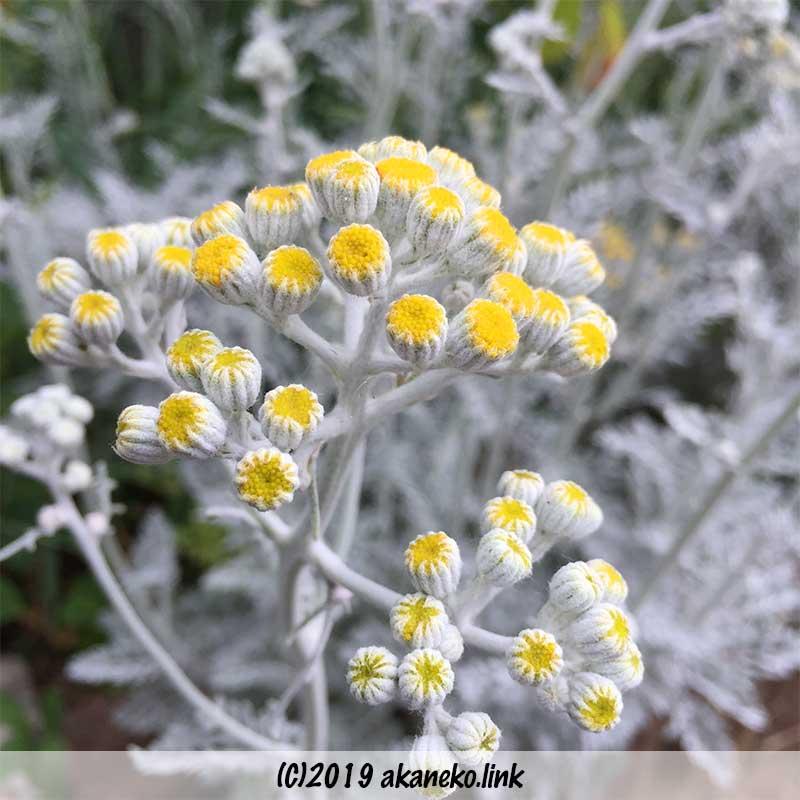 セネシオ属シロタエギク(dusty miller)の蕾、もうすぐ開花