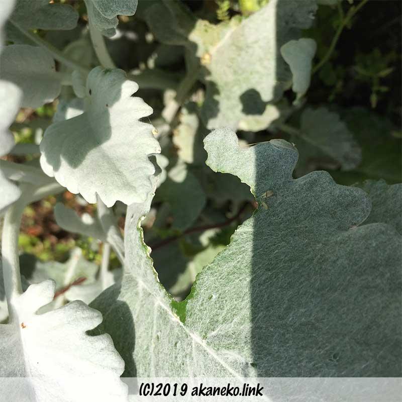 葉っぱをかじられたシロタエギク(品種不明)