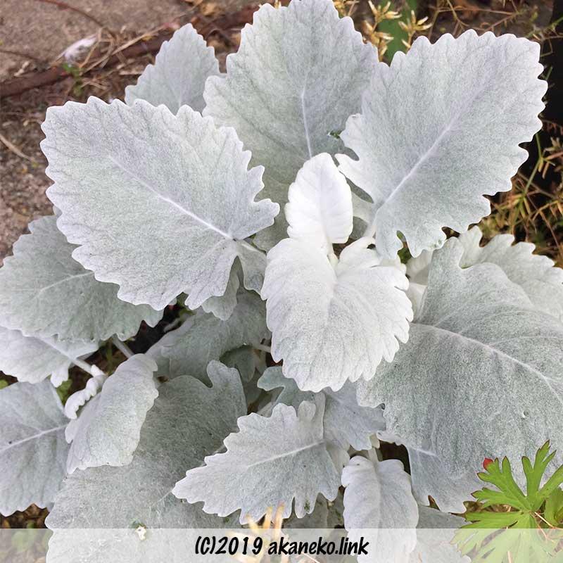 丸っこい葉っぱのシロタエギク(品種不明)