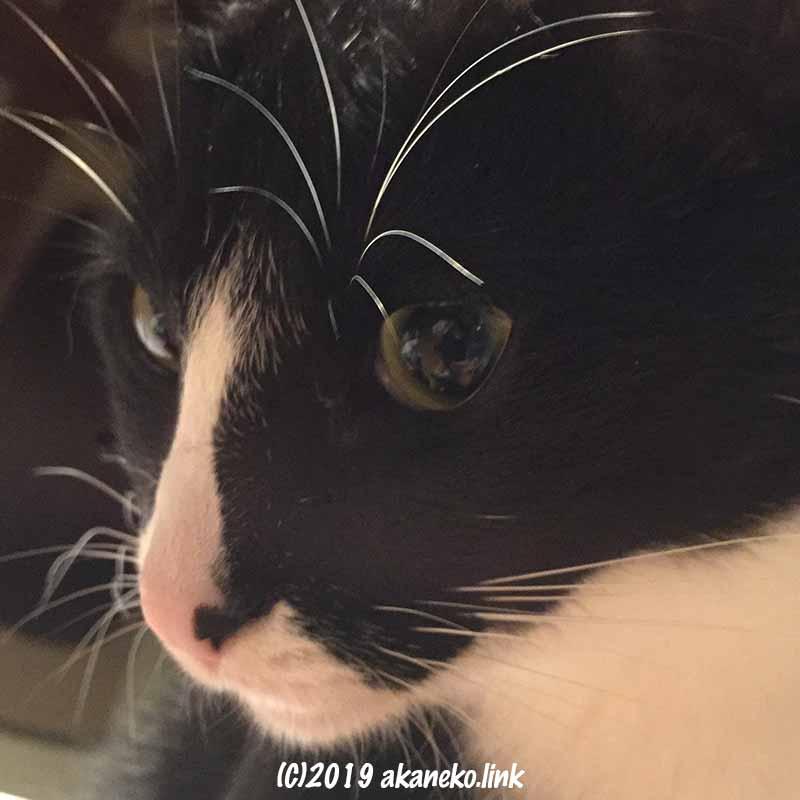 真面目顔のハチワレ猫