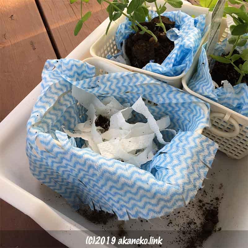 キッチンペーパーとニトリの使い捨て台ふきんでポット苗を包んでカゴにセットし水耕栽培
