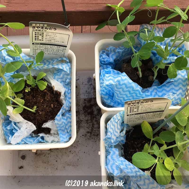 さやえんどうの手抜き水耕栽培