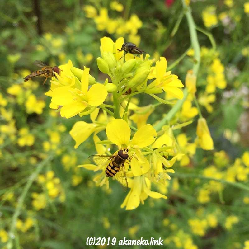 蕾菜の花に集まった5匹の虫たち