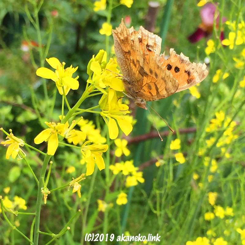 蕾菜の花の蜜を吸うボロボロのツマグロヒョウモン