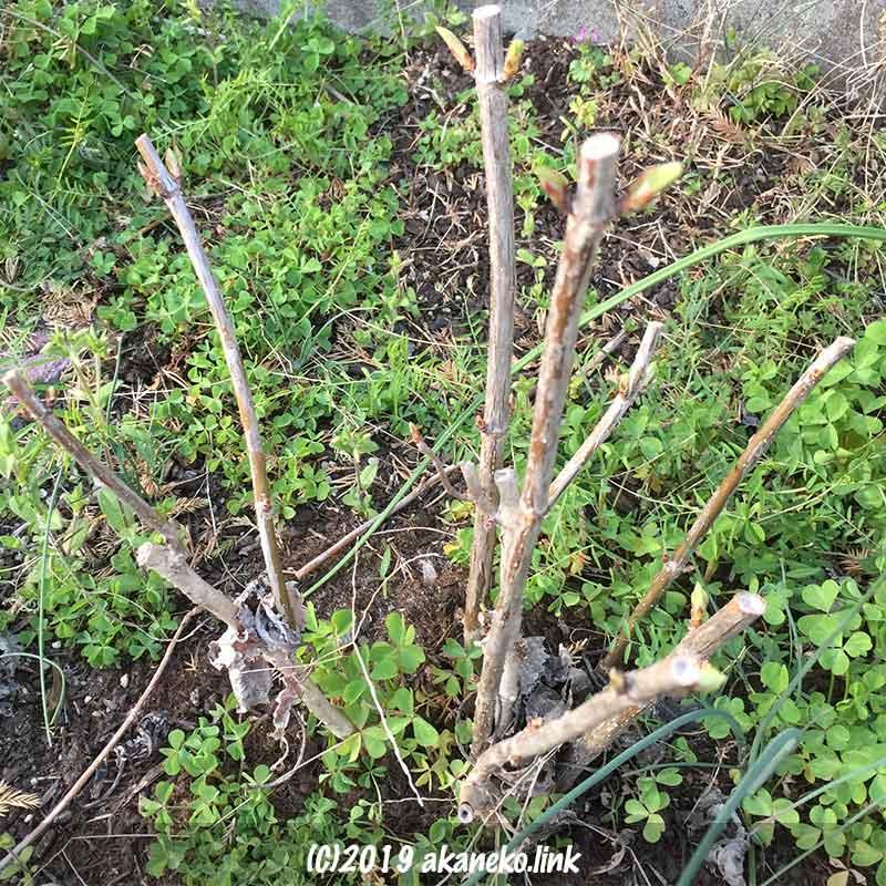 紫陽花アナベル(annabelle)の芽吹き