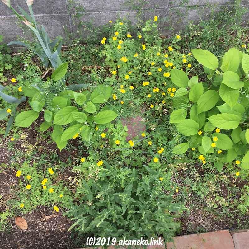 4月の紫陽花アナベル(annabelle)、雑草の中で新しい葉を展開中
