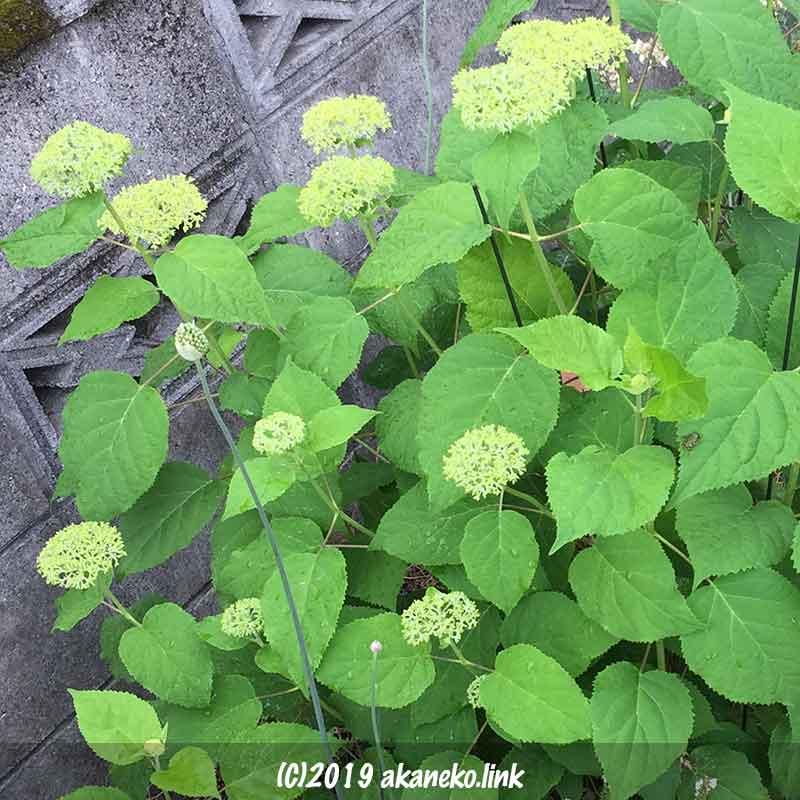 紫陽花アナベル(annabelle)の緑の蕾