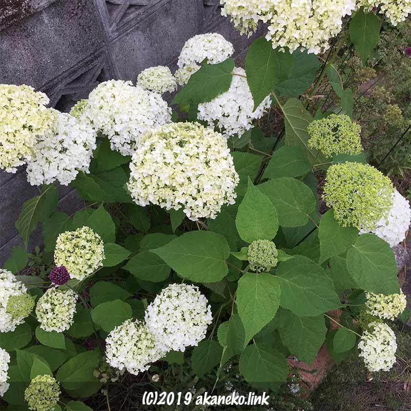 紫陽花アナベル(annabelle)の大小の花