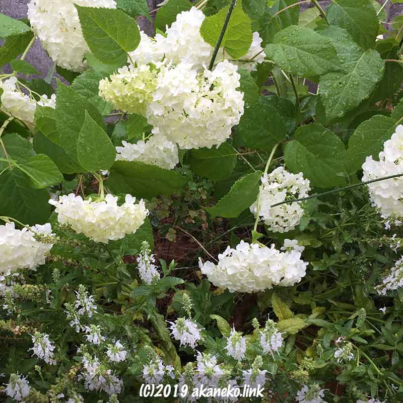 雨でうなだれた紫陽花アナベル(annabelle)の花