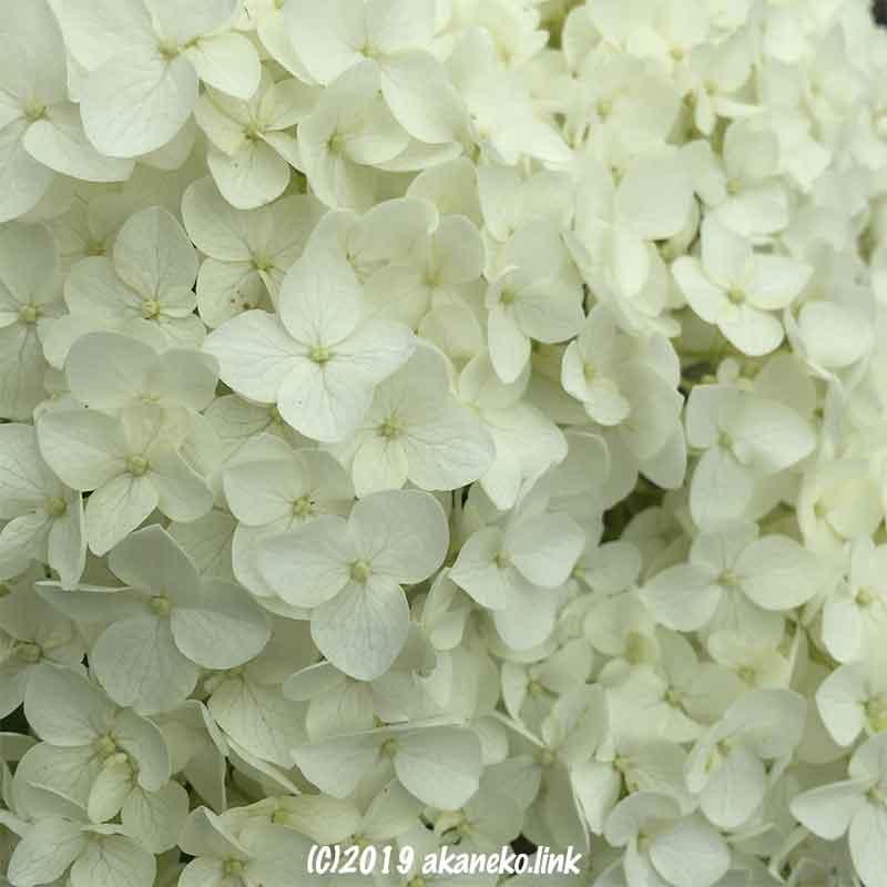 紫陽花アナベル(annabelle)の白い花