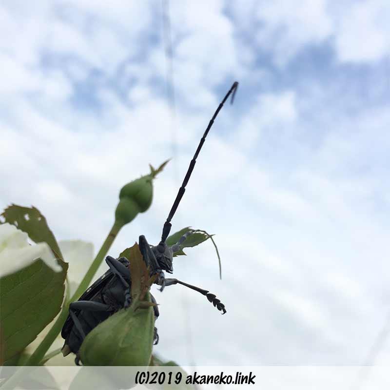 青空を背景にバラの蕾の上にいるゴマダラカミキリ