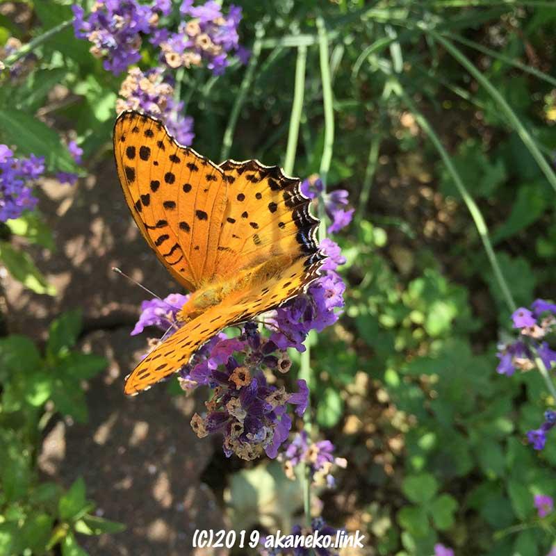 ラベンダーの花に佇むオレンジ色の蝶、ツマグロヒョウモン