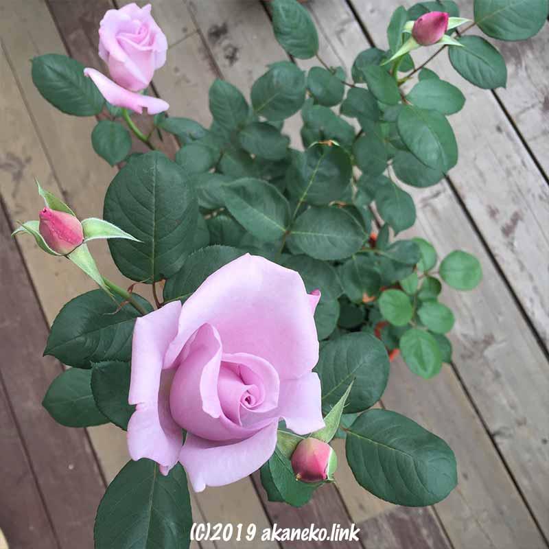 開きかけの薔薇、ブルームーン
