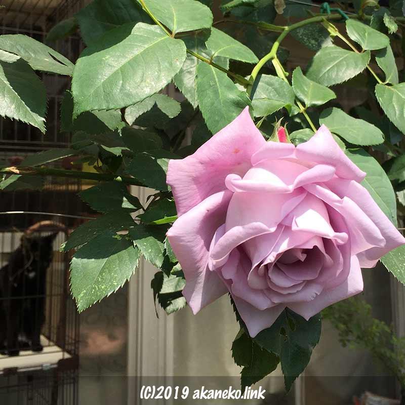つるブルームーンの花
