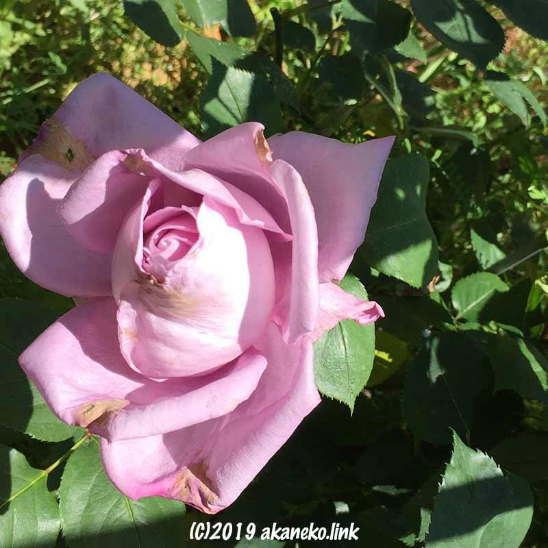 雨で痛んだ春のブルームーンの花