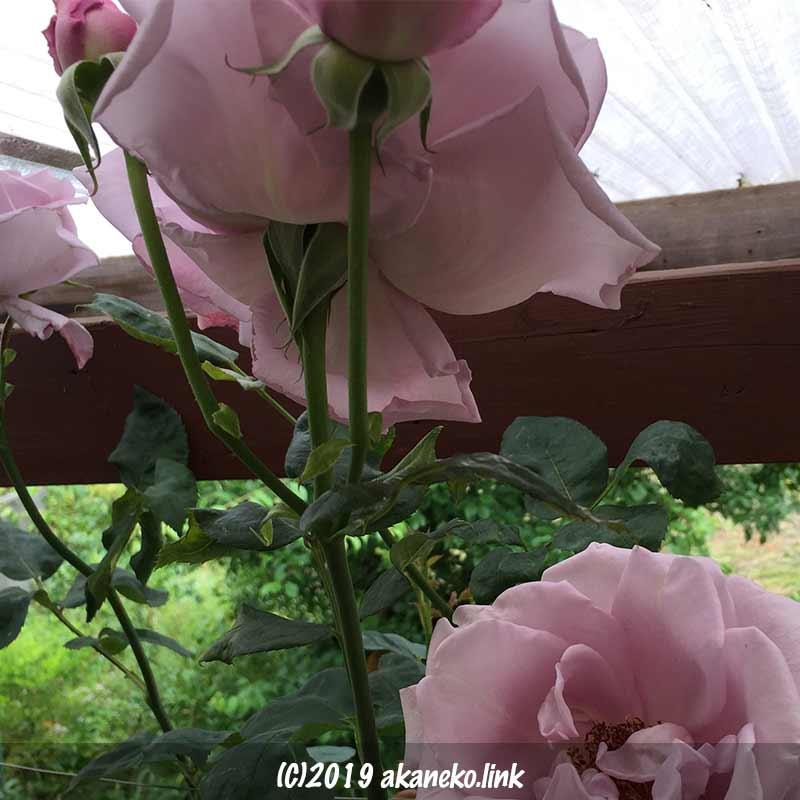 波板天井にぶつかって咲くつるブルームーン