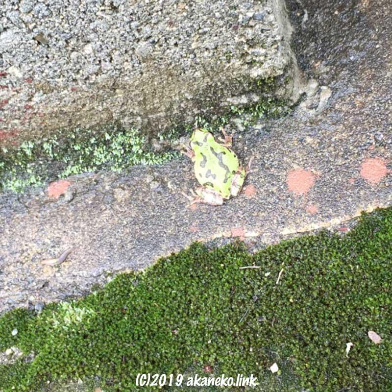 雨に濡れたコンクリートの上にいる黒い迷彩柄のニホンアマガエル