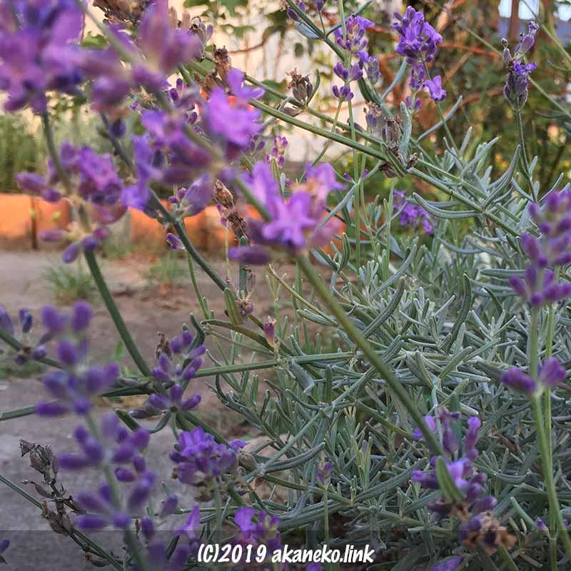 長崎ラベンダー(リトルマミー)の秋の花