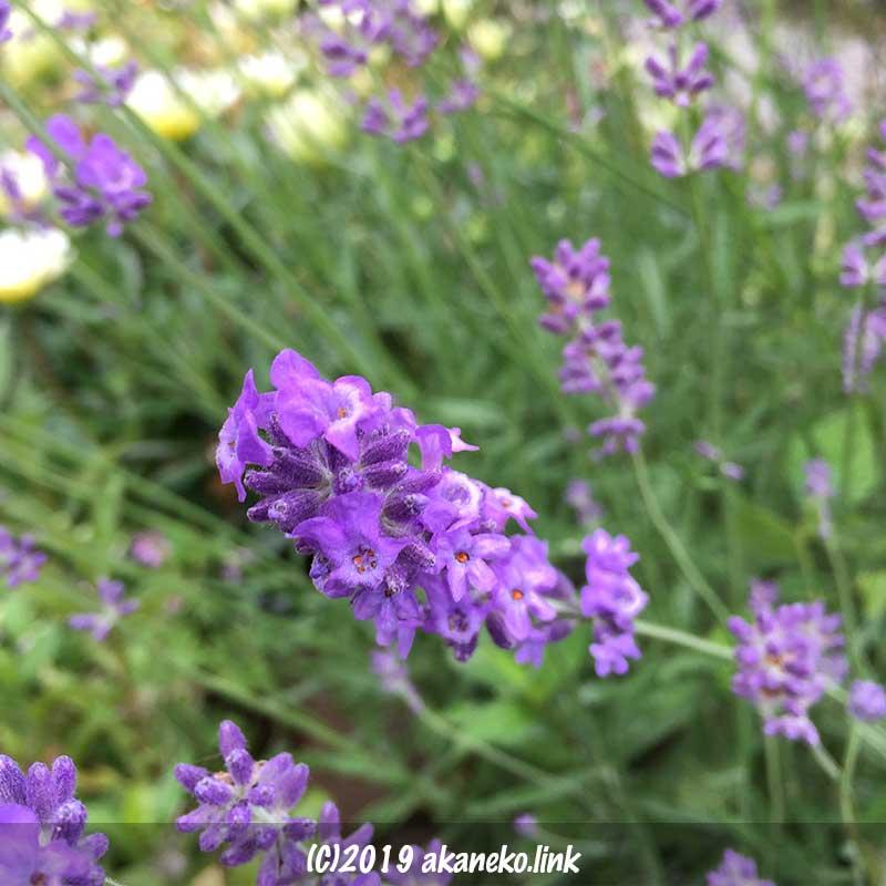 長崎ラベンダー(リトルマミー)の花穂