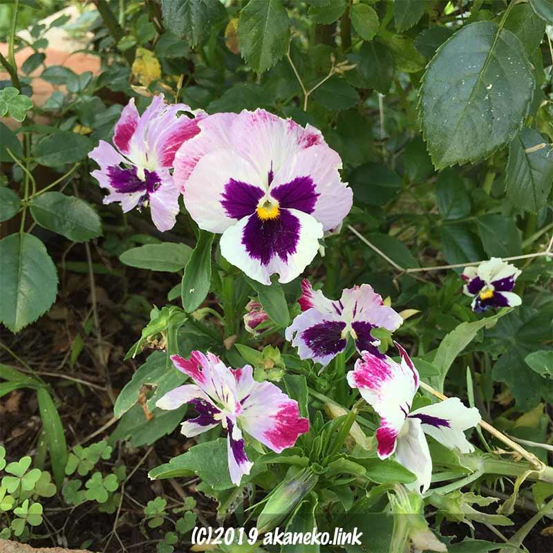 6月のパンジーの花
