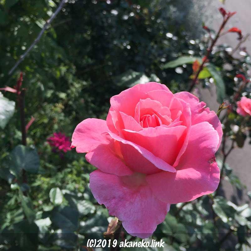 ピンクのバラ、クイーンエリザベス(Queen Elizabeth)
