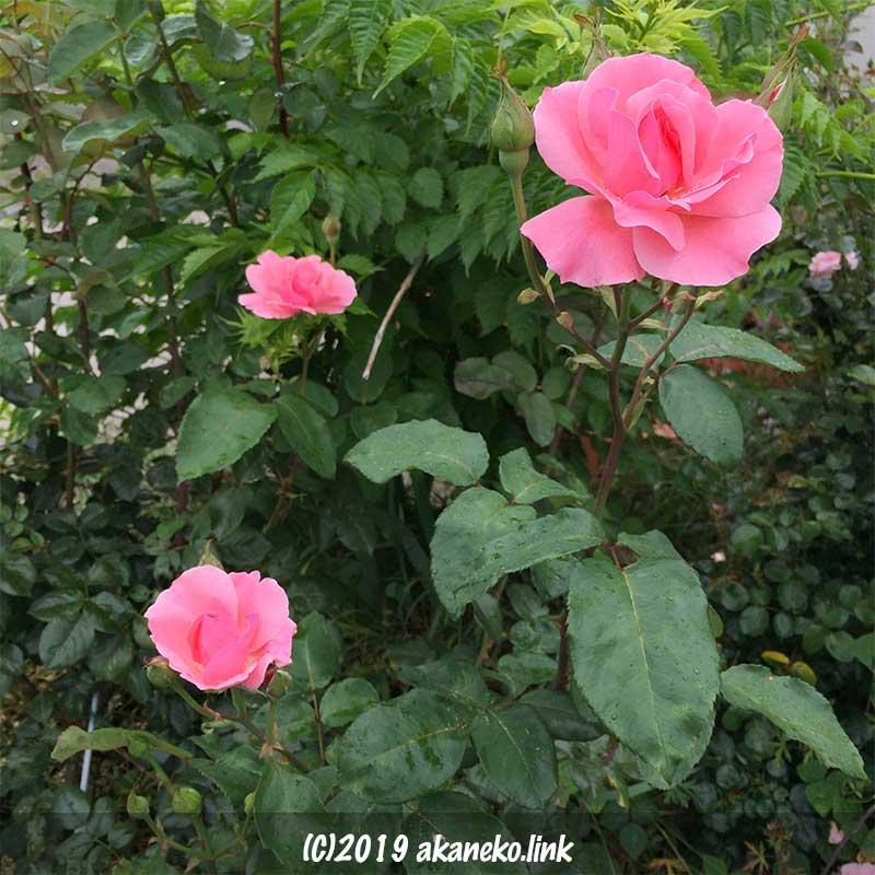緑を背景にしたピンクのバラ、クイーンエリザベス(Queen Elizabeth)