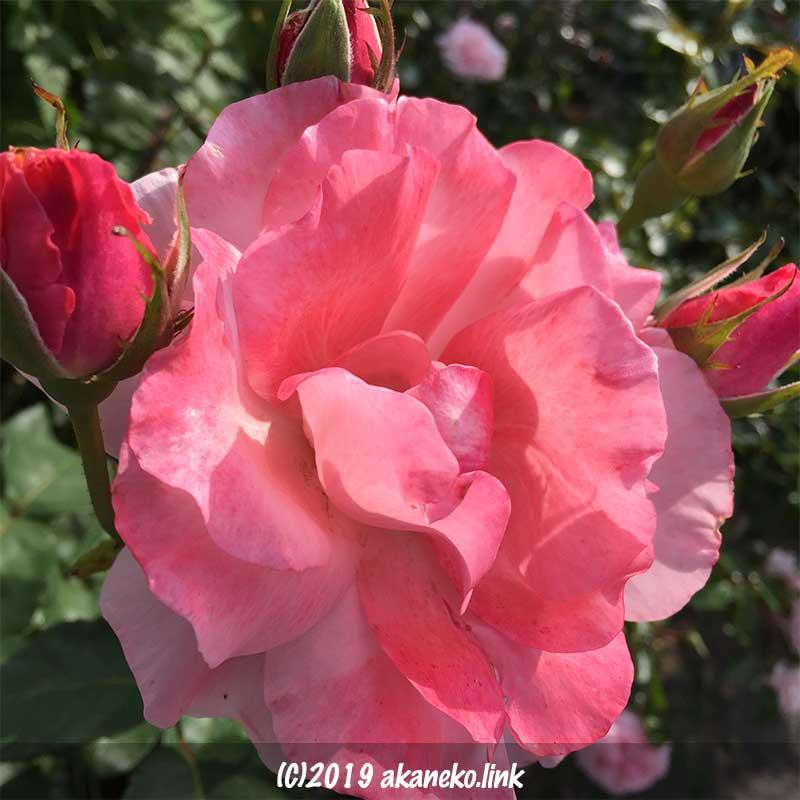 ピンクの花弁の濃淡が美しいバラ、クイーンエリザベス(Queen Elizabeth)